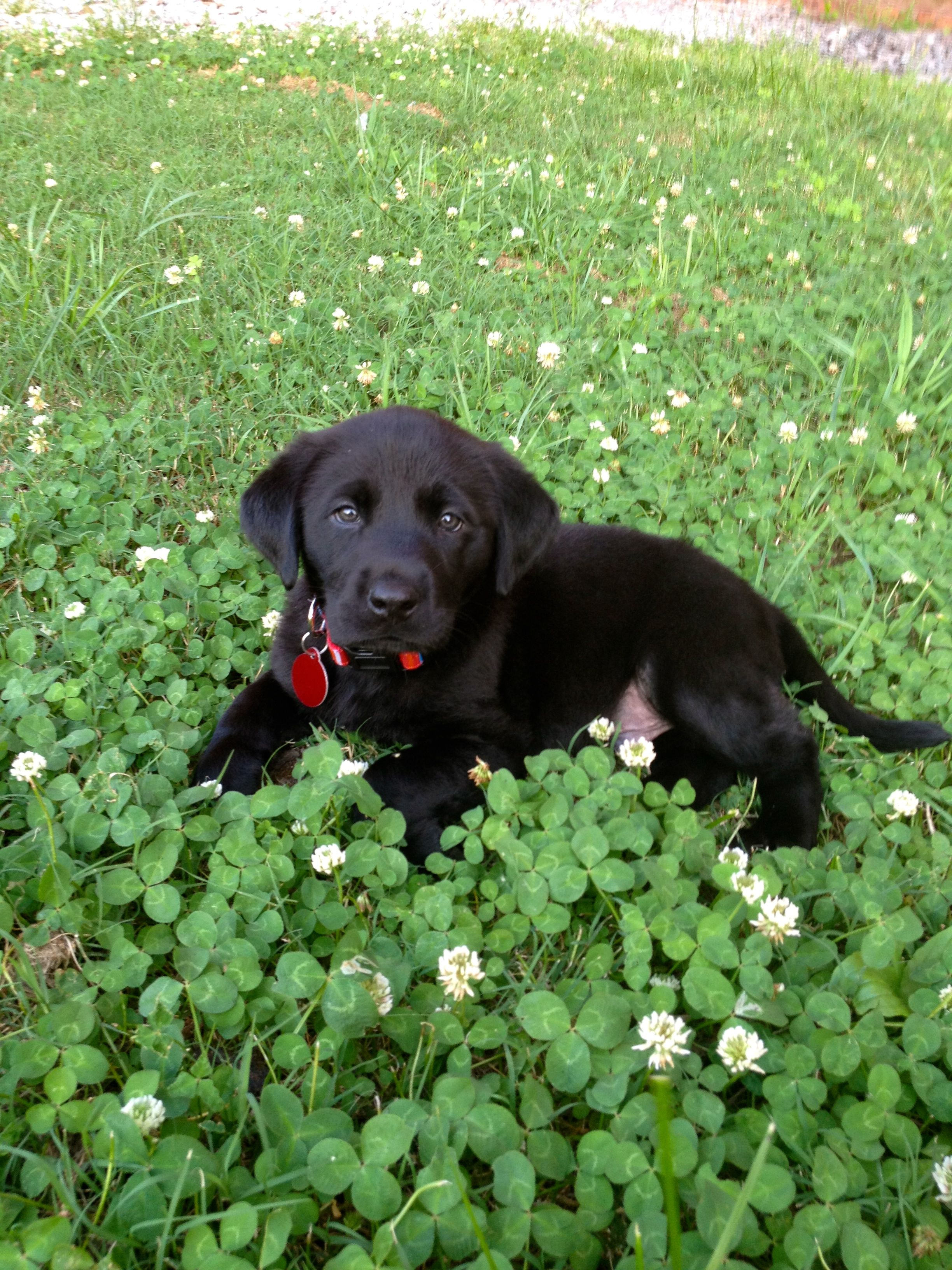 George the Black Lab puppy Animals Pinterest