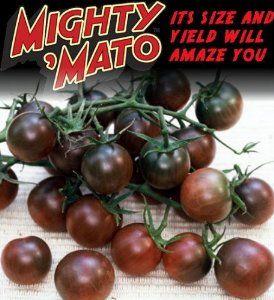 Mighty Mato Grafted Black Cherry Tomato Plant Easy To 640 x 480