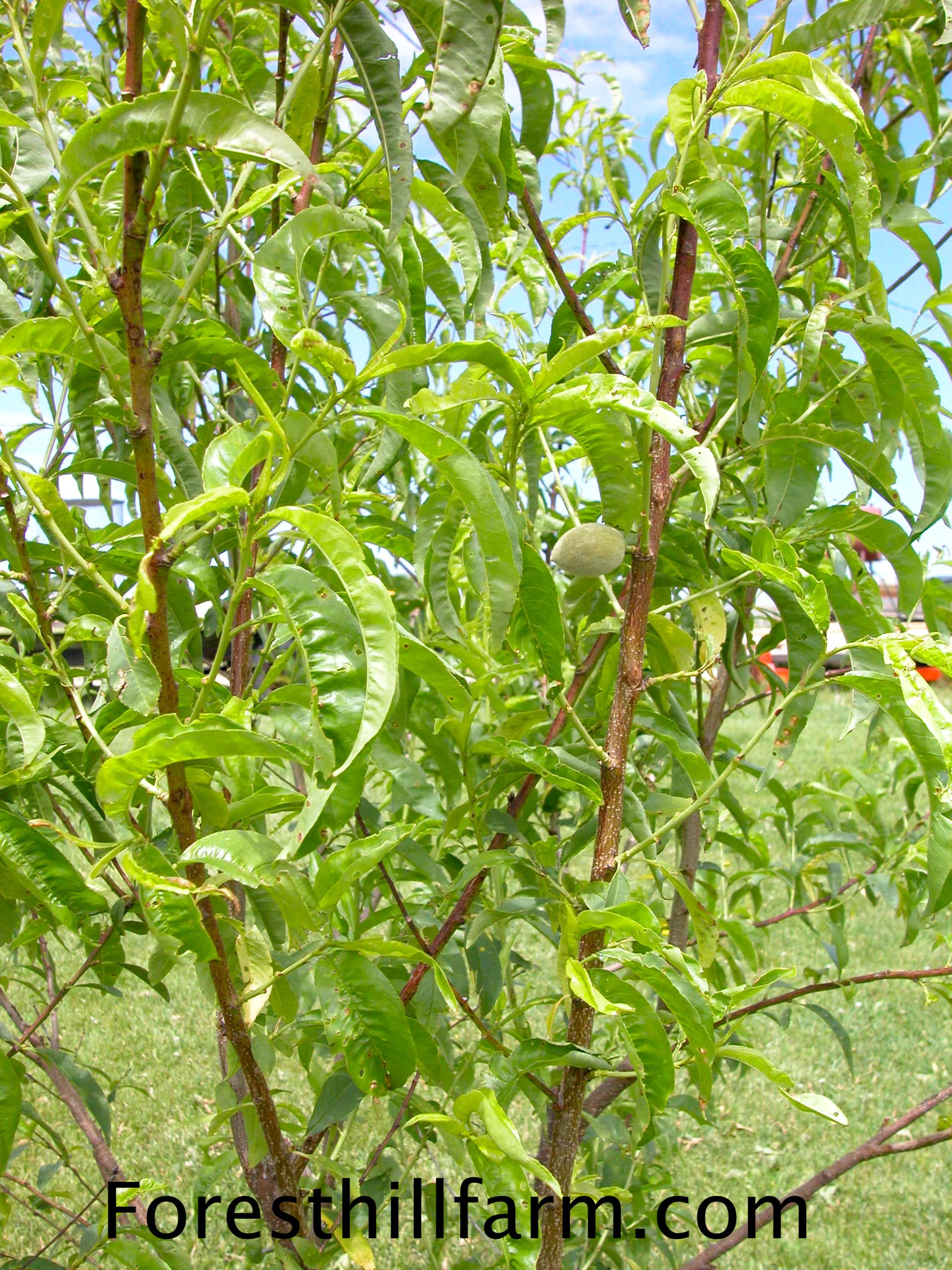 Bug Jugs Insect Traps For Fruit Trees