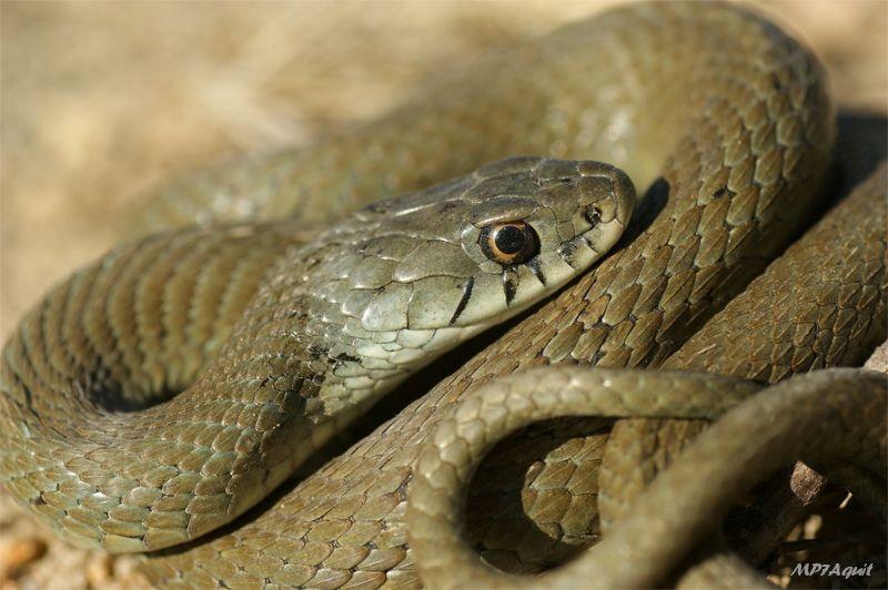 Grass snake Natrix natrix astreptophora, Spain | Flickr - Photo Sharing!