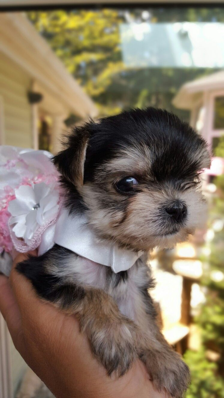 Cutest Micro Teacup Morkie Teacup Puppies Pets Teacup Puppies For Sale