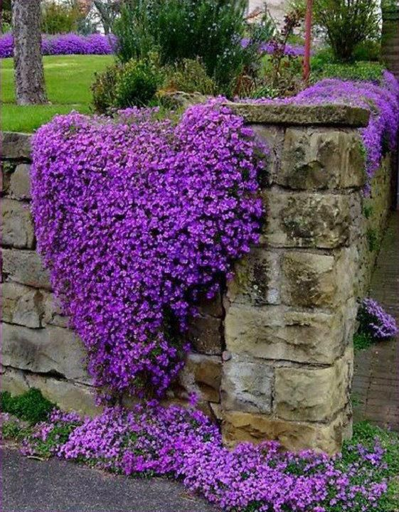 Campanula Portenschlagiana Dalmatian Bellflower Easy Perennials Beautiful Flowers Purple Flowers