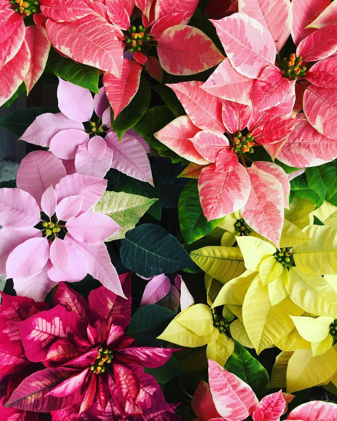 333 NOCHE BUENA nochebuena plants flowers nature
