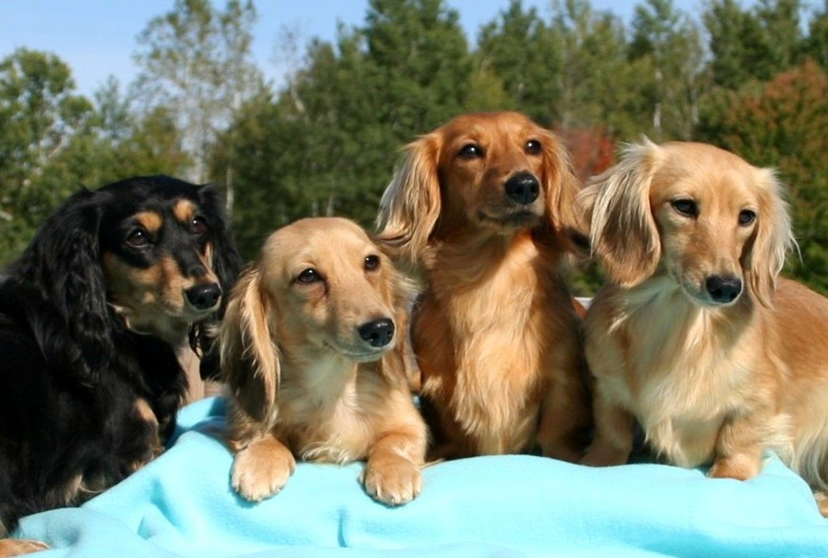 Photos Of Dauchsnuds Type Miniature Dachshund Long Haired