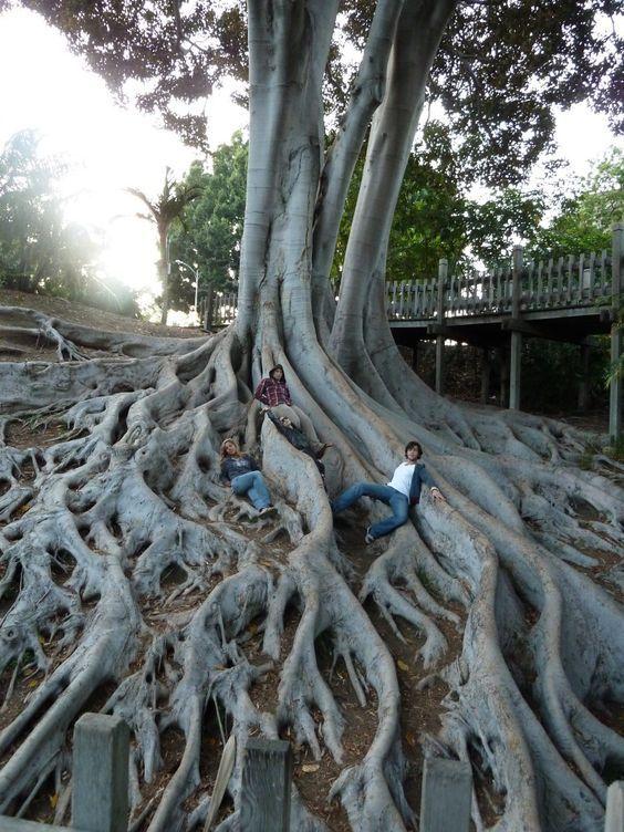 Tree Roots At Balboa Park San Diego California San