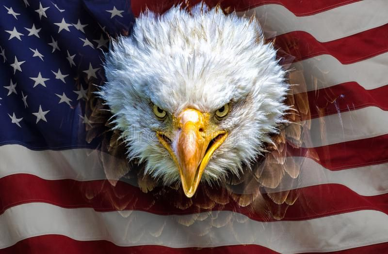 An Angry North American Bald Eagle On American Flag Ad American North Angry Flag Eagle Ad Bald Eagle American Bald Eagle Eagle Images