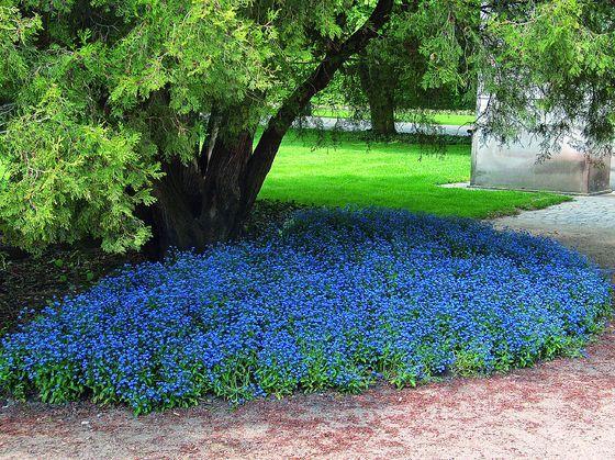 W Cieniu Drzew Niezapominajki Dobrze Rosna W Miejscach Cienistych Landscaping Plants Garden Landscape