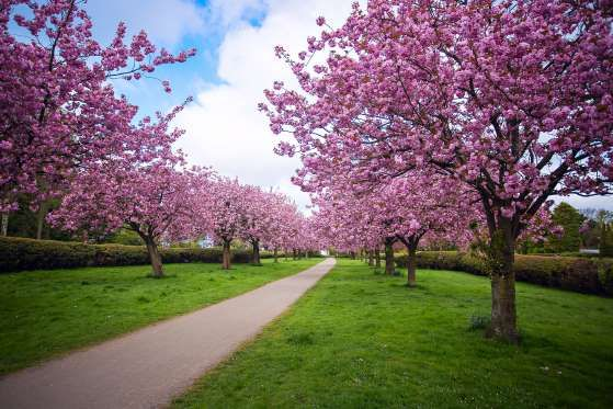 30 Places To Visit During Cherry Blossom Season Cherry Blossom Season Blossom Cherry Blossom