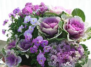 Cabbage And Pretty Pansies Pansies Annual Flowers 400 x 300