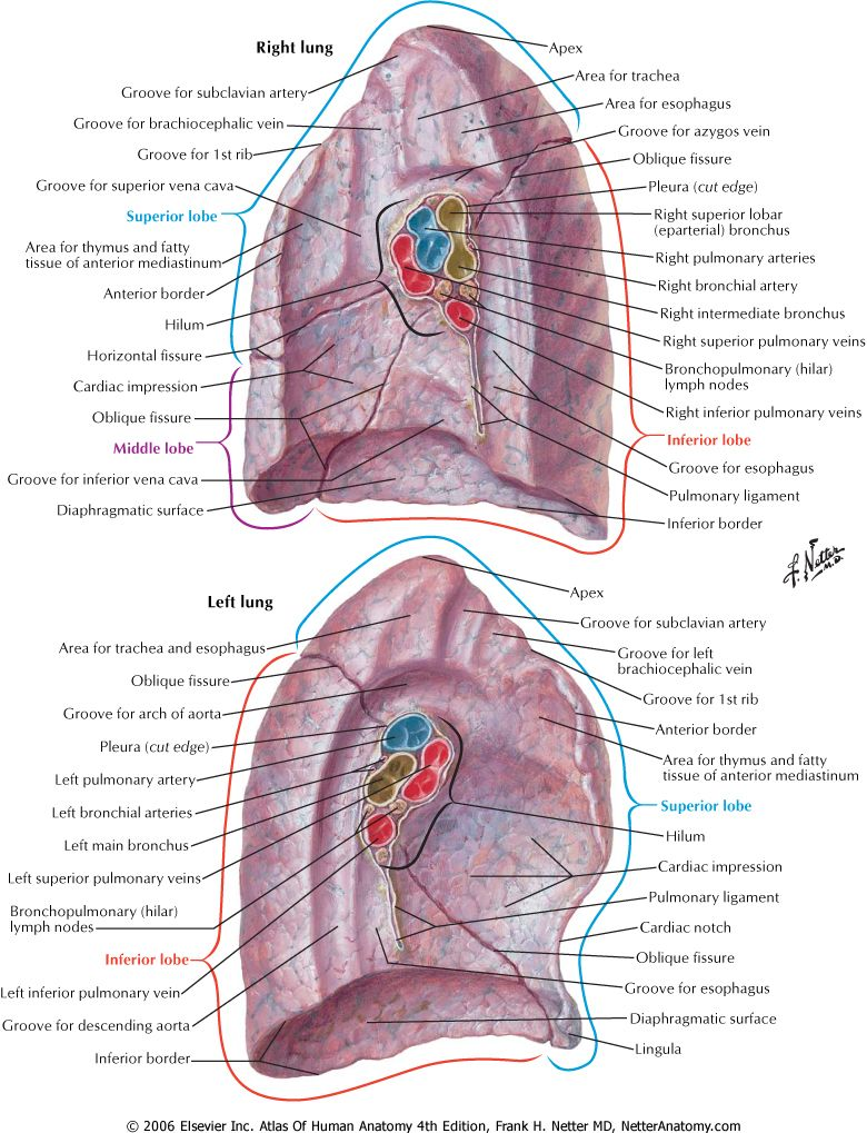 Netter Anatomy- love you, lungs! | Medical | Pinterest | Anatomy ...