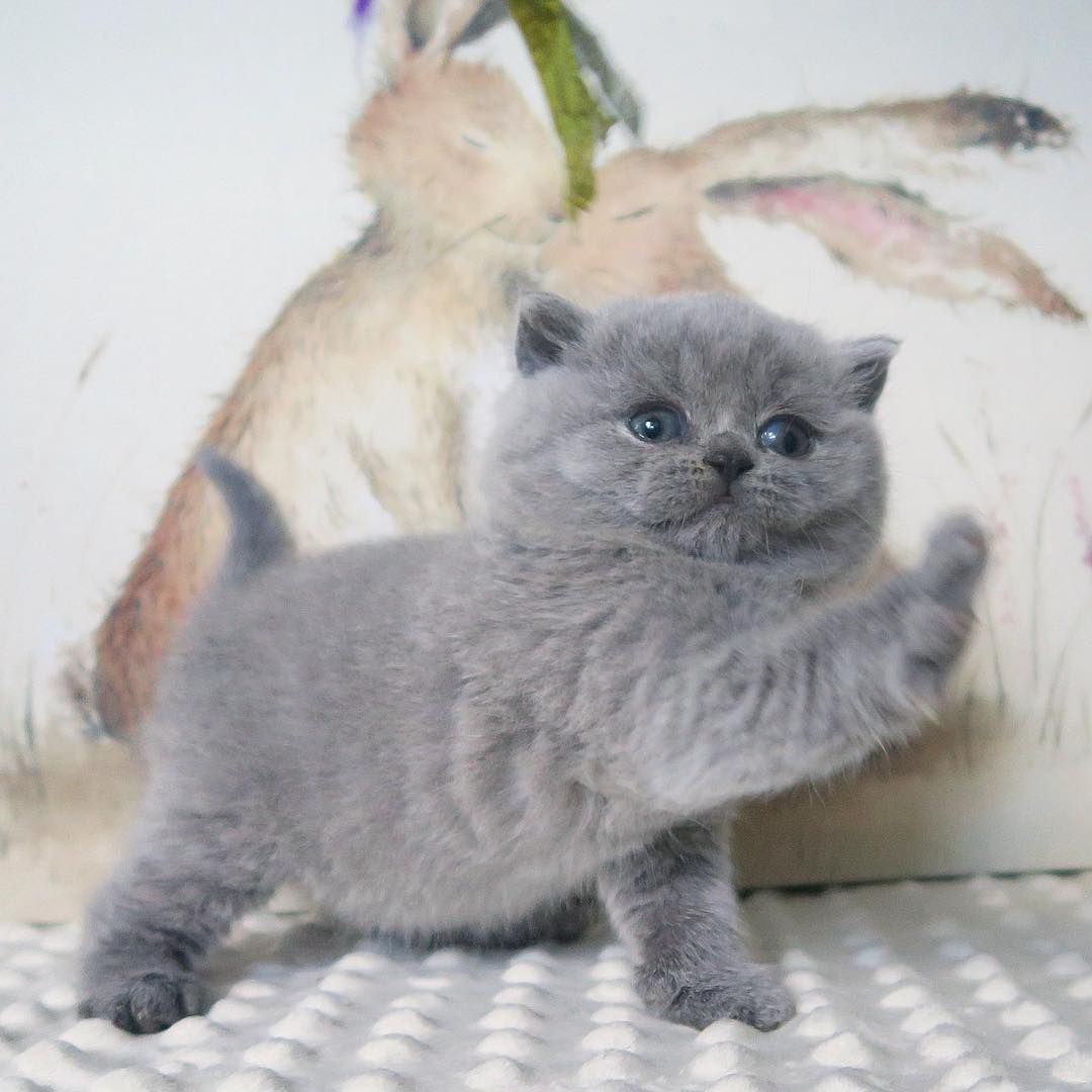 An Adorable Gray Puffy Kitten Cute Baby Cats Cute Cats And Dogs Kittens Cutest