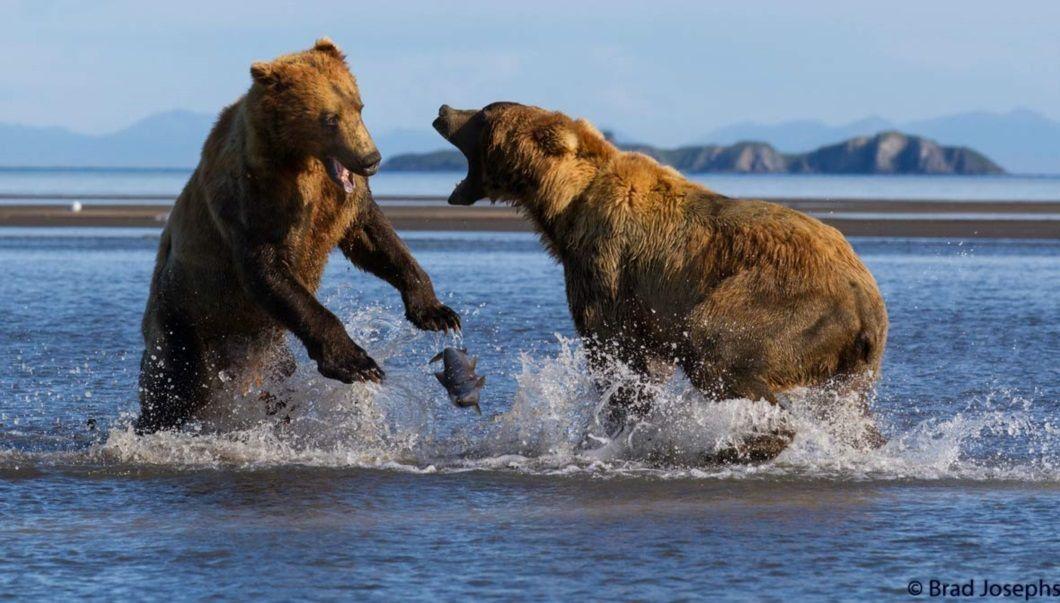 For wildlife photographer Brad Josephs, watching a battle