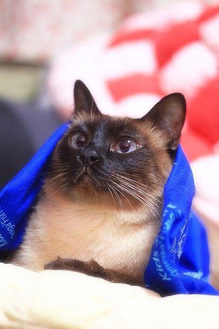 Beautiful Siamese Cats Siamese Cats Cats Siamese Kittens