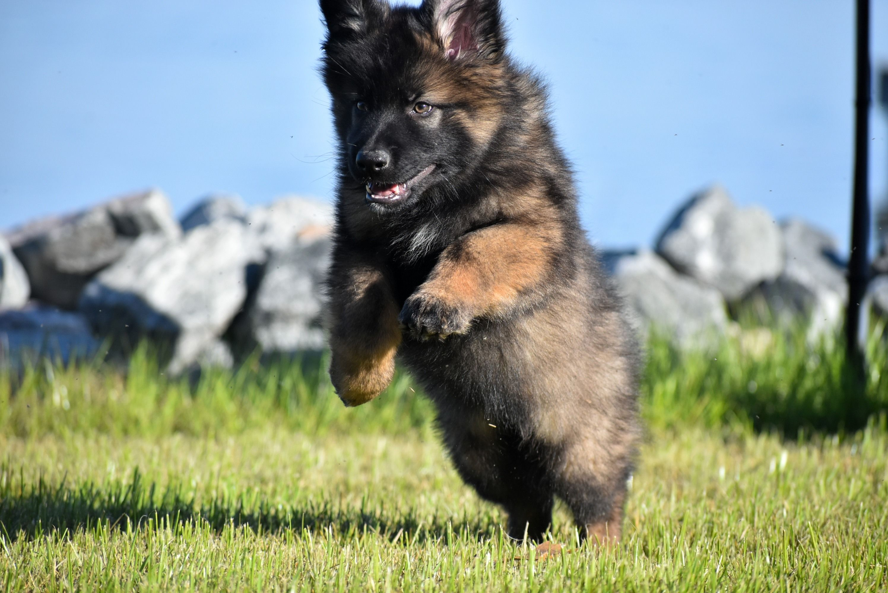 German Indian Dog From The Vega X Stormy Litter Dogs Animals Litter