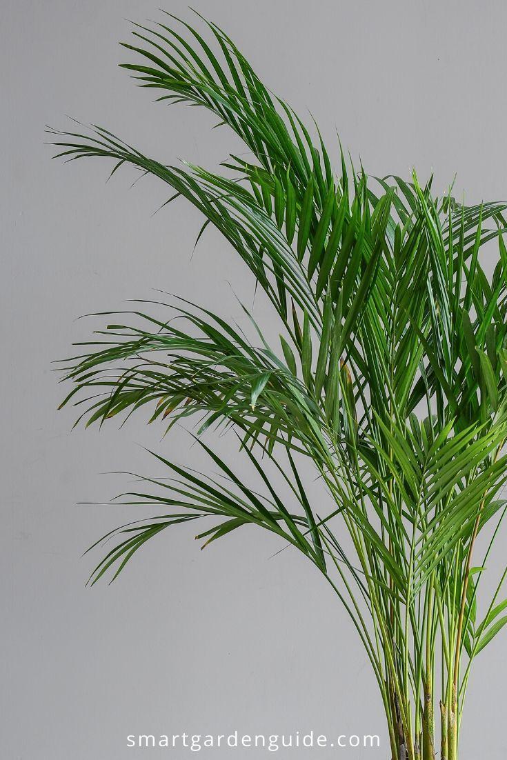 Areca palm care guide areca palm plant areca palm care
