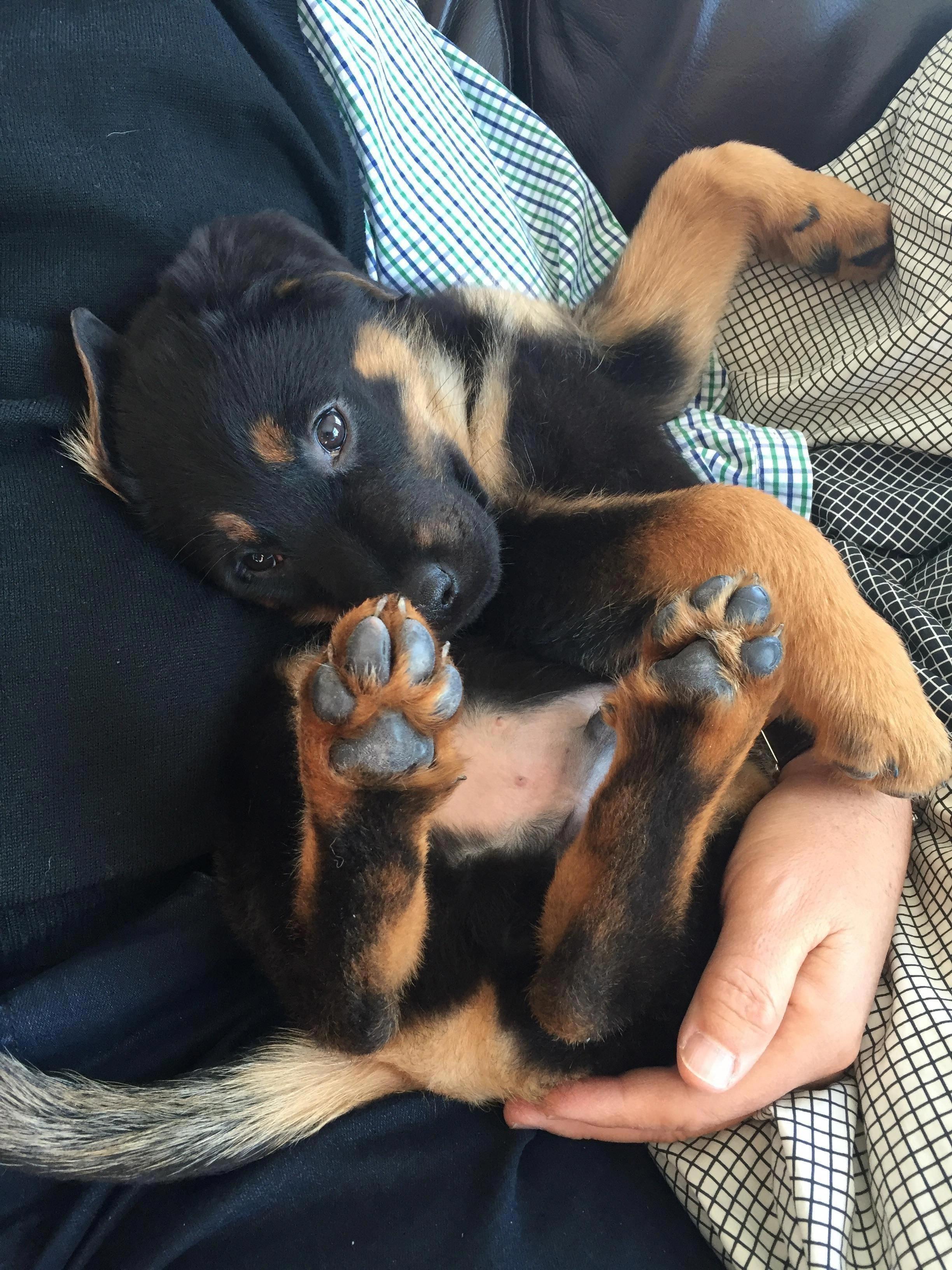 The Rottweiler Puppy Rottweilerfan Rottweilergirl
