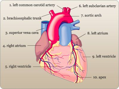 Heart anterior view diagram color auto electrical wiring diagram heart anterior view diagram color images gallery ccuart Images