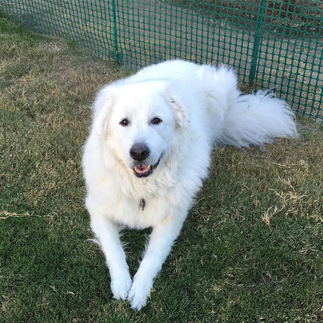 More About The Smart Aussie Puppy Temperament