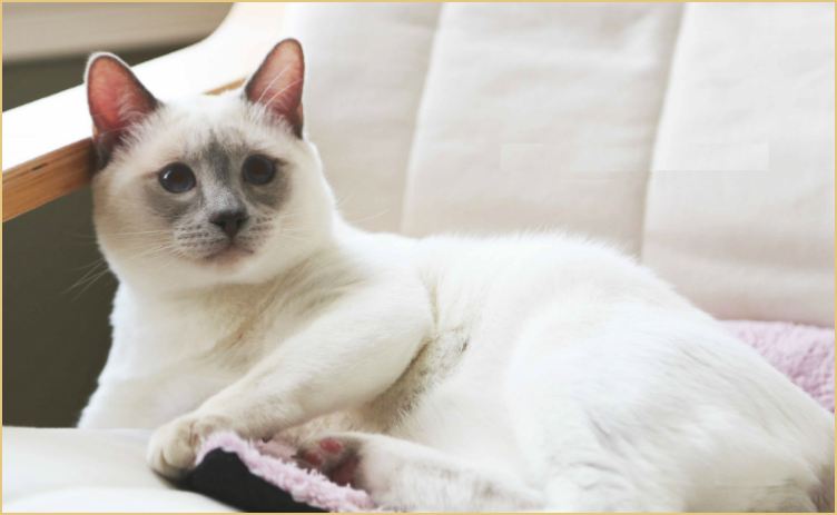 Cats 101 Siamese Colorpoint Shorthair Kitten 01 Ragdoll Cat
