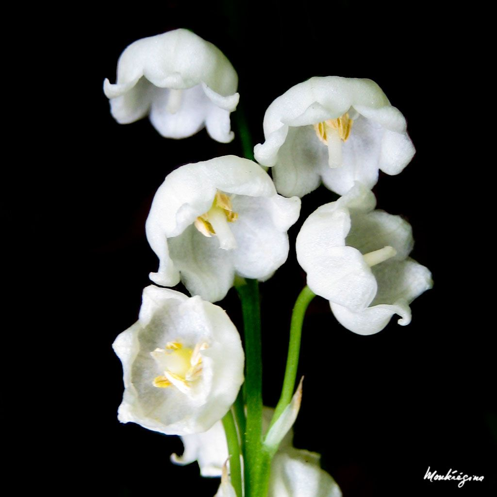 Lily of the valley pictures may flower flower favorites lily of the valley pictures may flower izmirmasajfo