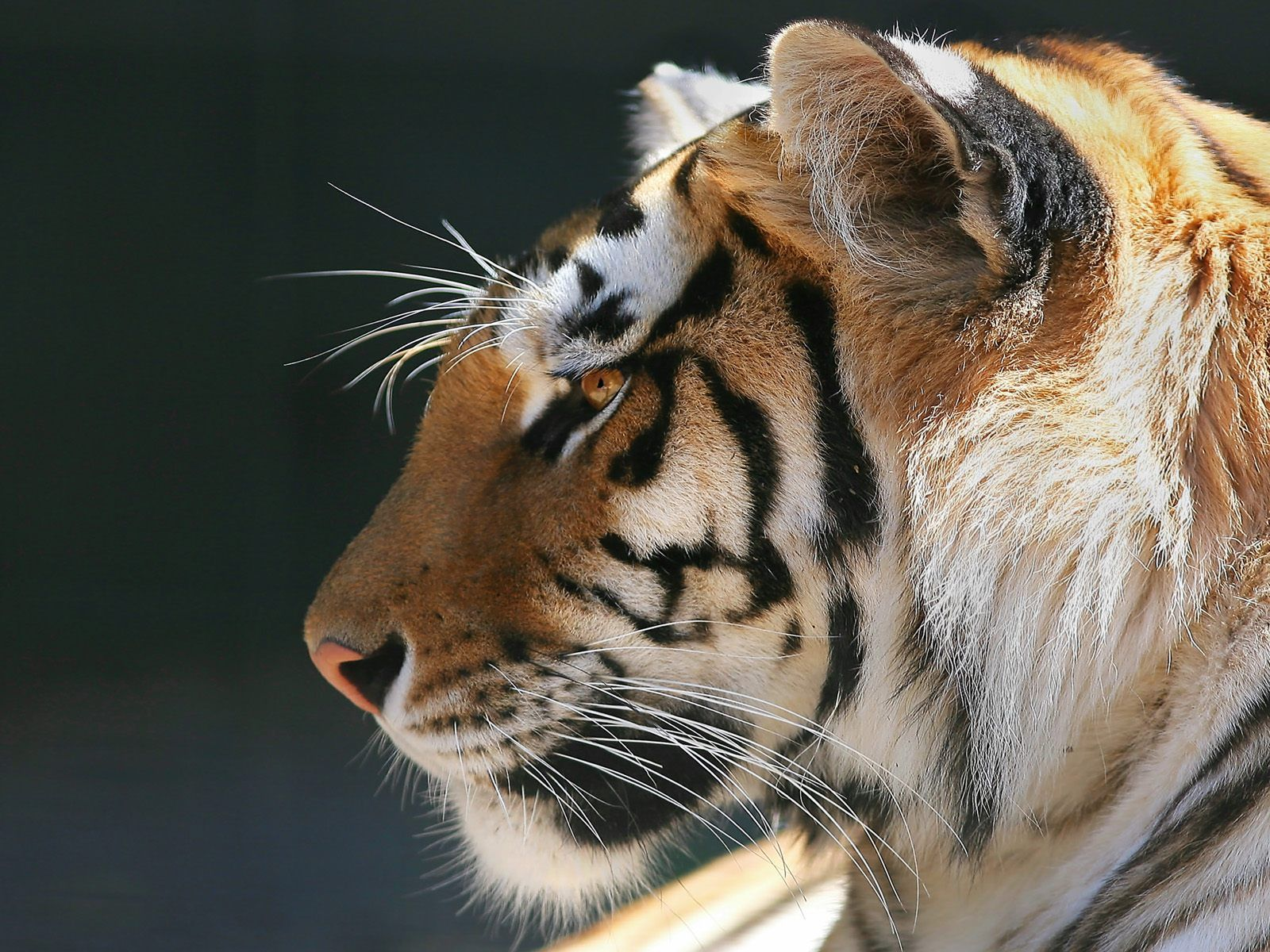 Www Babaimage Com Images Tiger Head Profile Tiger In Profile 1600x1200 Jpg Tigre Du Bengale Animales Animaux