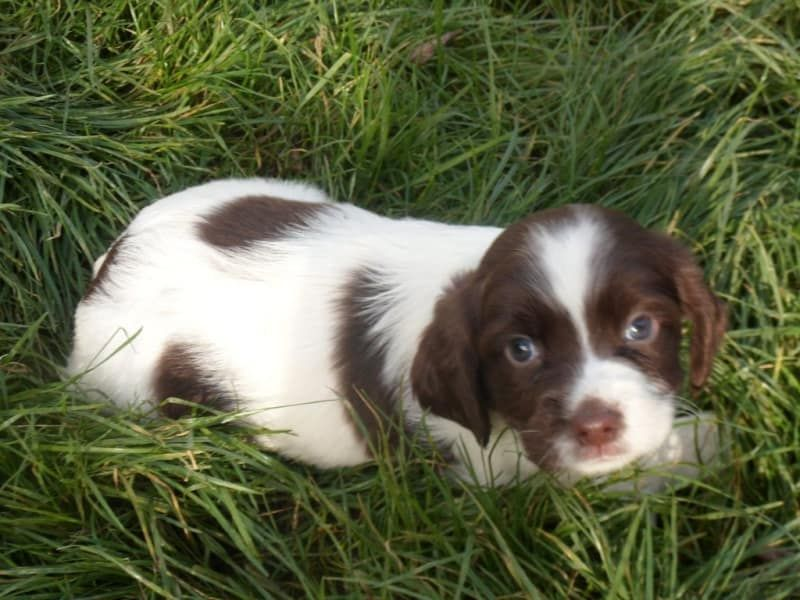 15 Reasons To Never Get A Springer Spaniel Springer Spaniel Spaniel Spaniel Dog