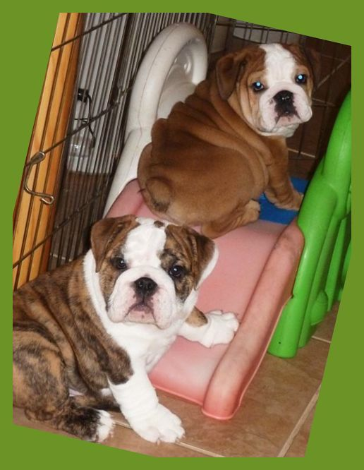 Read Facts About The English Bulldog Breed Including Details About Its Dogsofinstagram Pup English Bulldog Puppies English Bulldog Bulldog Puppy Training