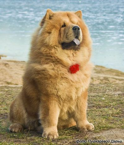 Chow Chow Dog Is Smart Loyal And Good Companion Puppies Dogs
