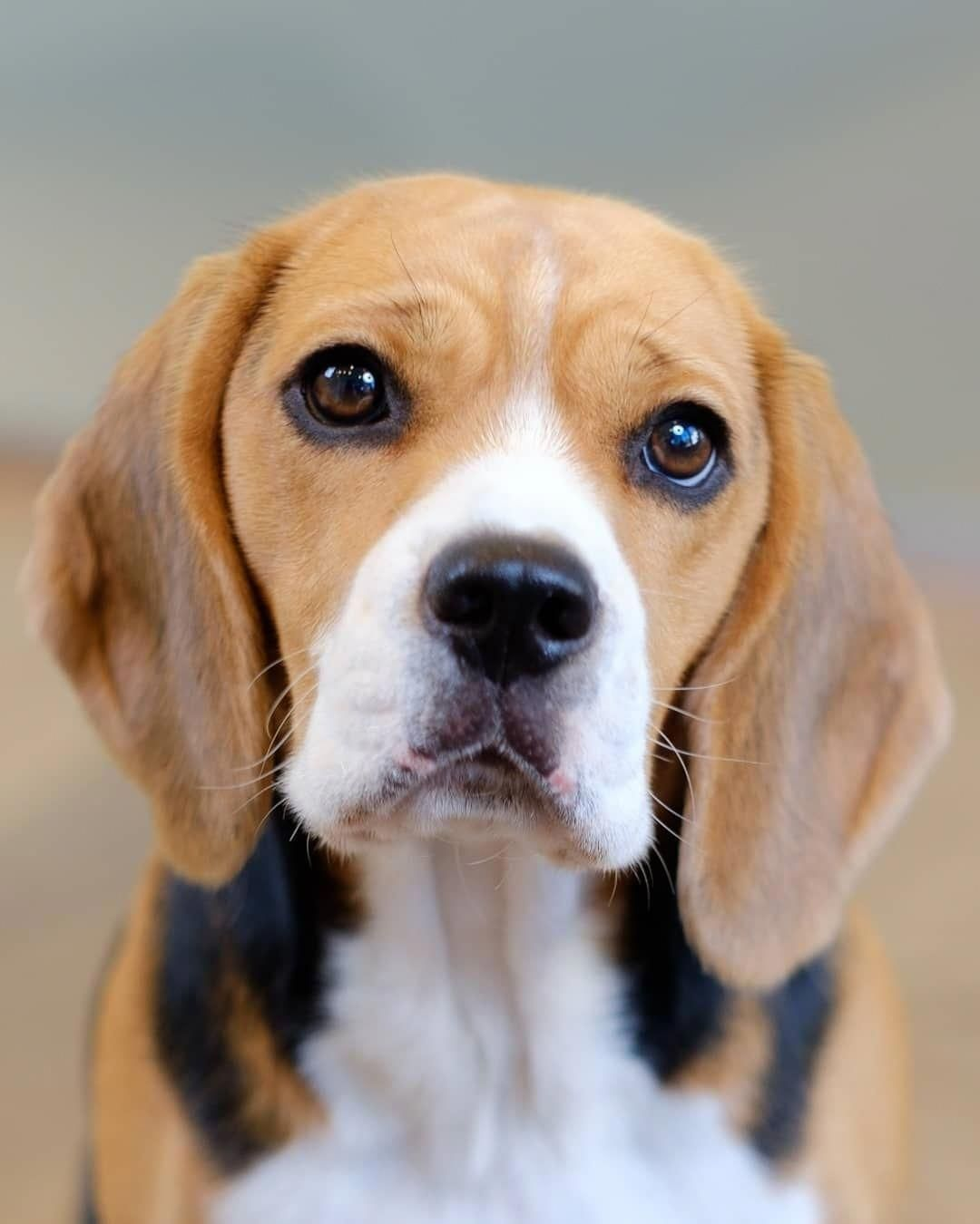 Easy Dog Training Tips Dogtraininglondon Cute Beagles Beagle