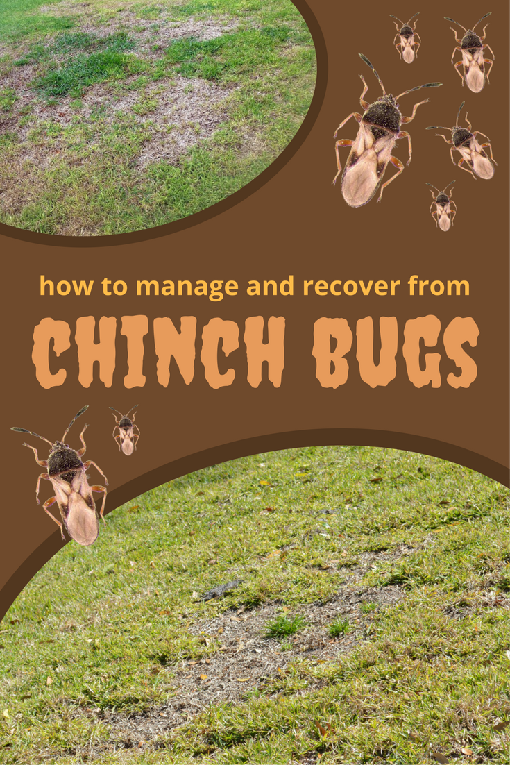 Chinch Bugs Can Cause Extensive Damage To Your Lawn If Left Untreated They Live In The Thatch Layer Of A Lawn Wher Chinch Lawn Damage Getting Rid Of Crickets