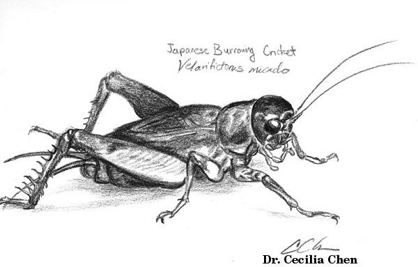 Insect Sketches Cricket Bug Art Animal Drawings Animal Sketches