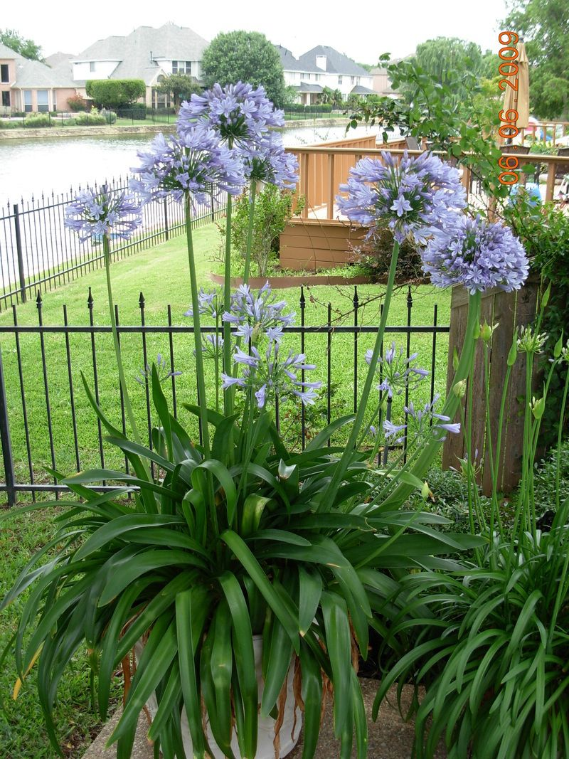 Saving Up Now I D Love A Huge Bed Of These Outside My Bedroom Window Lily Of The Nile Or Agapanthus African Lily Agapanthus English Cottage Garden