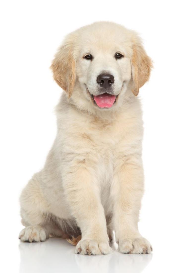 Golden Retriever Puppy Portrait On White Background