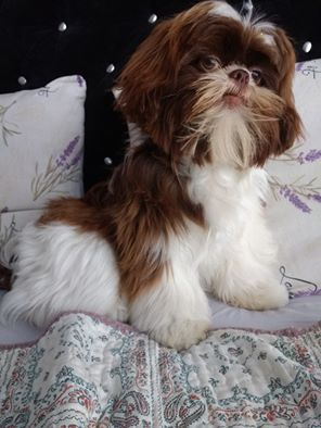 This Dog Knows Things He S Seen Things Shih Tzu Cute Dogs