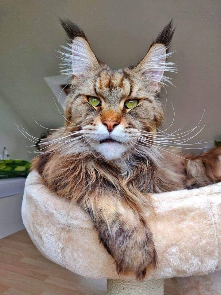 If I had a cat like this I'd name him Vincent. #catbreeds