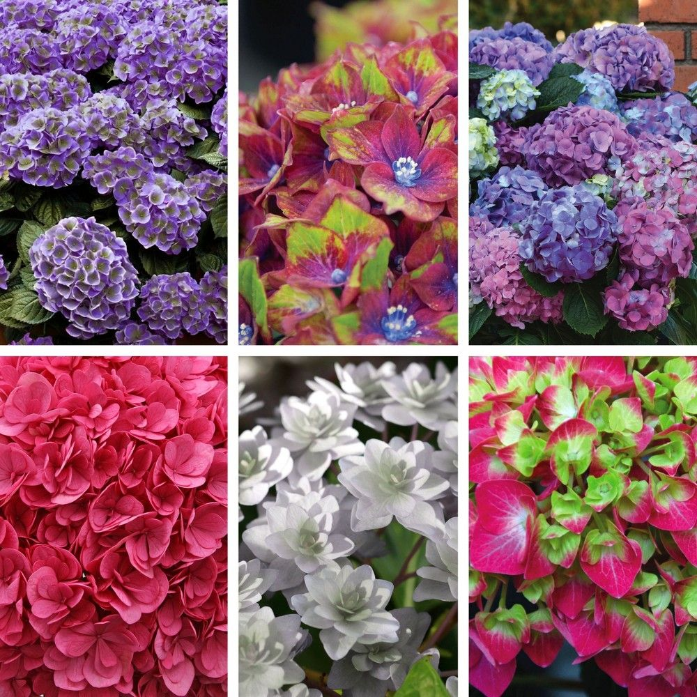 6pc hydrangea collectors edition national plant network