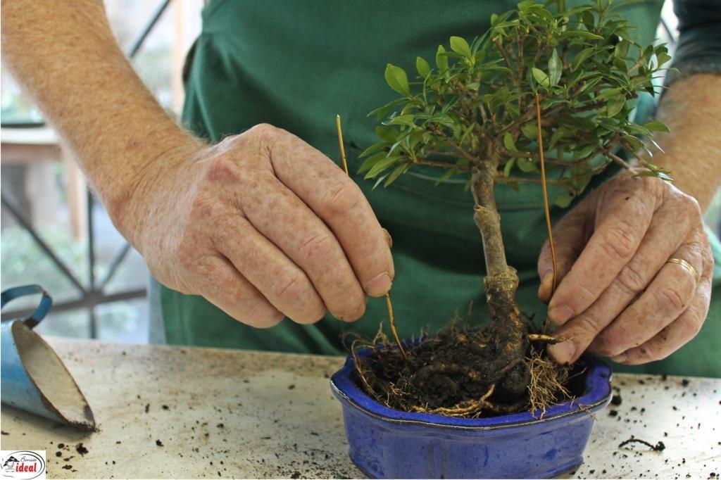 Resultado de imagem para aprenda como fazer um bonsai em 12 passos