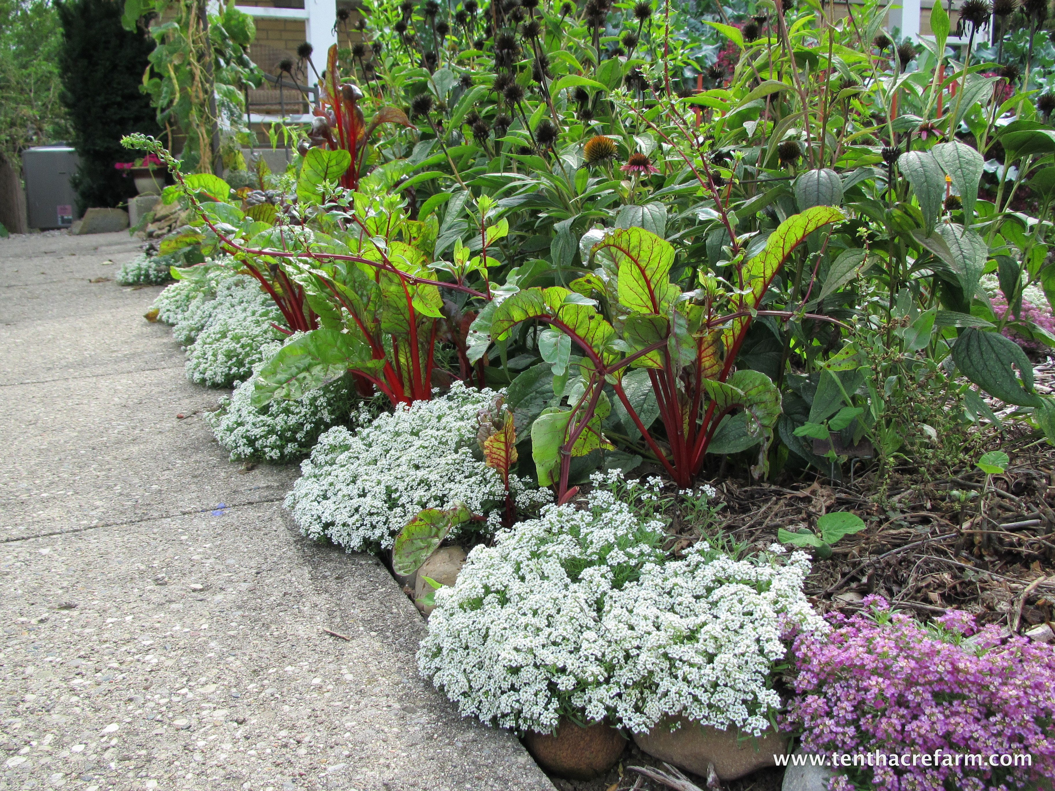 Creative environments landscape co edible gardens - Sweet Alyssum And Swiss Chard Winning Edible Landscaping Combination For Fall