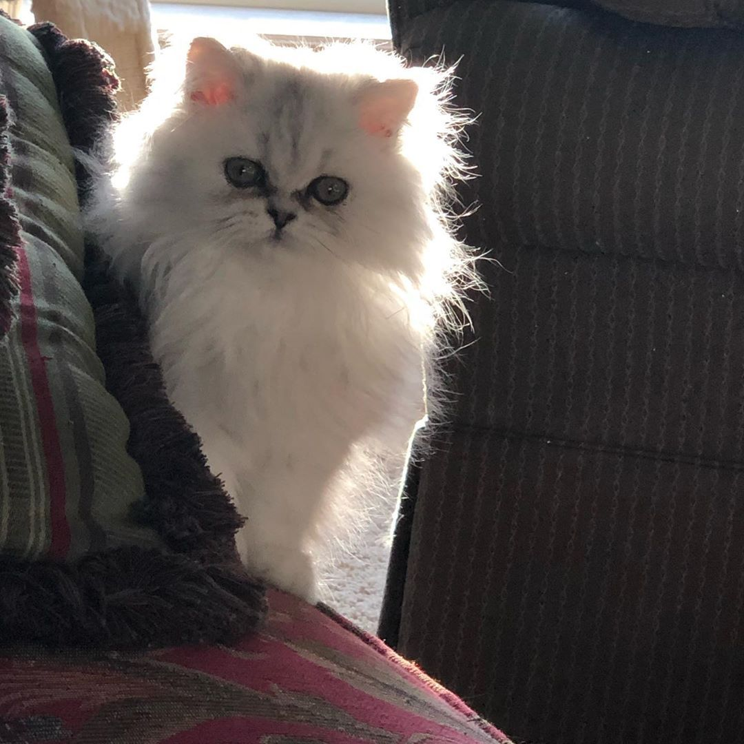 Puffy® Plush Pet Bed Kittens near me, Persian kittens