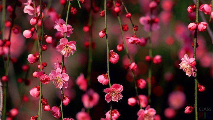 Цветущие ветви весной
