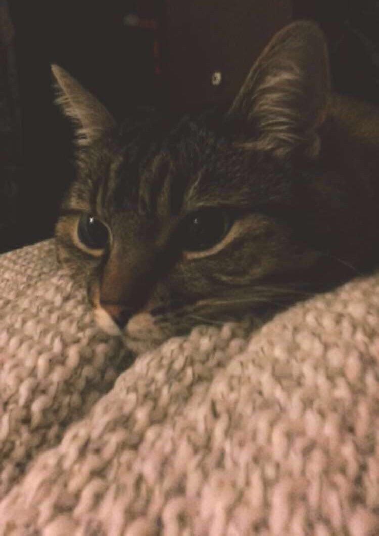 Impatient Face Oc Cat Fleas Cat Has Fleas Why Do Cats Purr