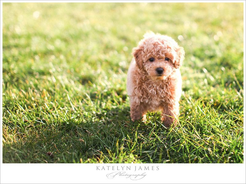 This Cutie Is A Bich Poo Bichon Frise And Poodle Want Cute Dog Pictures Poochon Dog Poochon Puppies