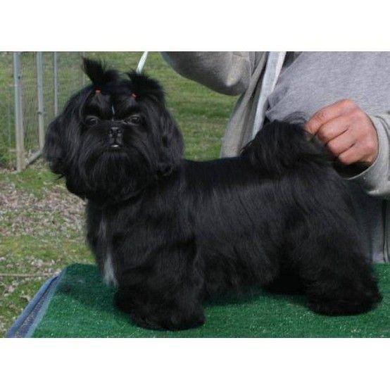 Beautiful Black Shih Tzu Black Shih Tzu Shih Tzu Puppy