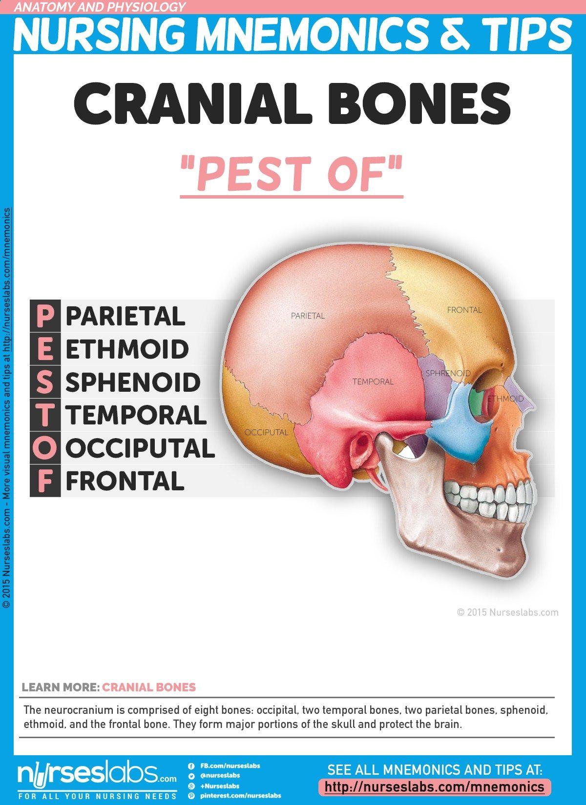 """Cranial Bones: """"PEST OF"""" The neurocranium is comprised of eight ..."""