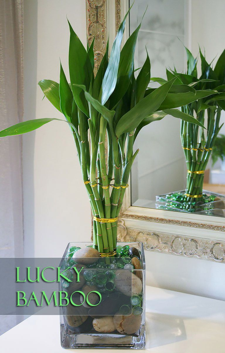 lucky bamboo perfect office plant office plants lucky bamboo and plants. Black Bedroom Furniture Sets. Home Design Ideas