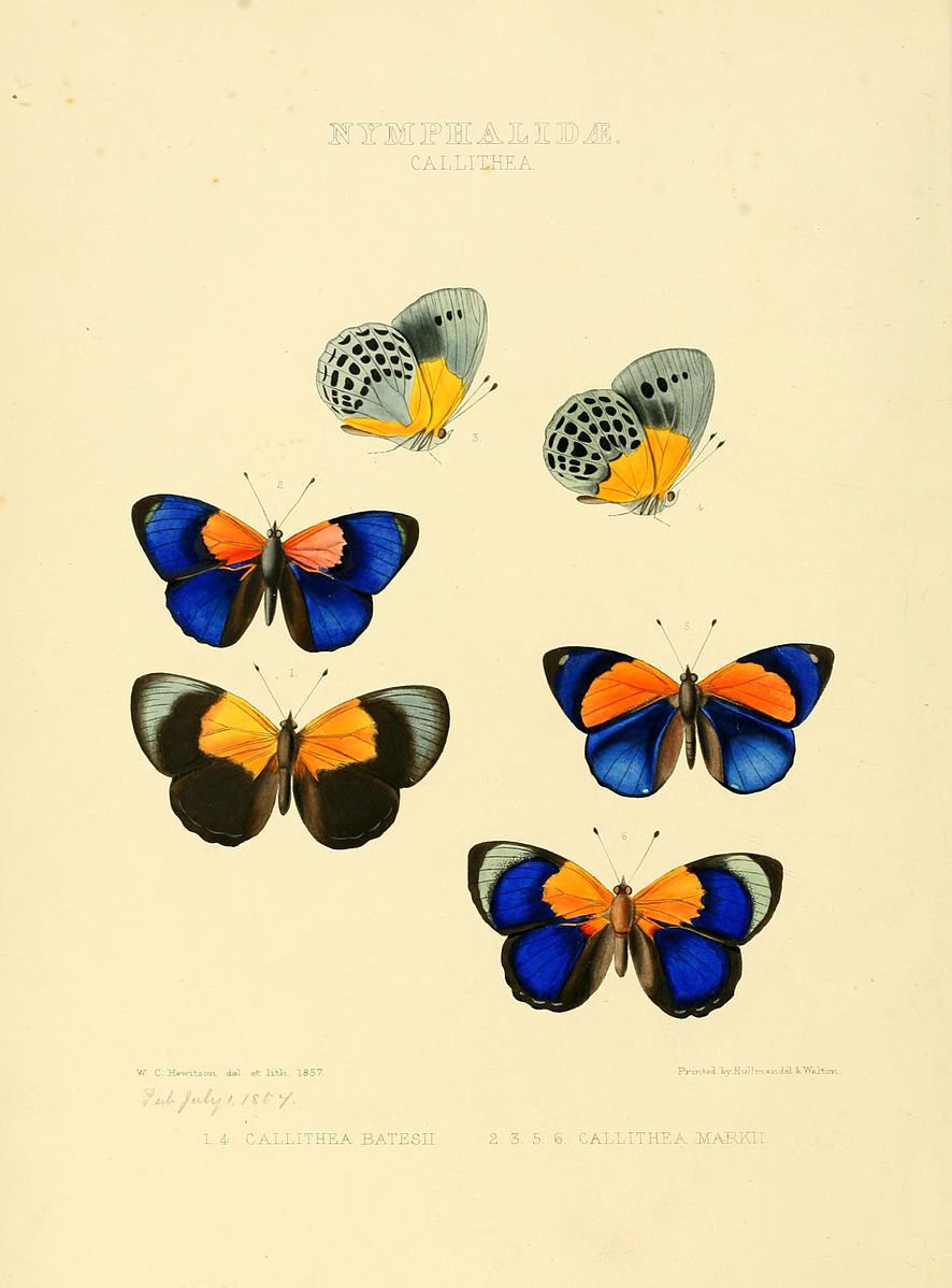 Pin by Wikipedia on Butterfly illustrations from the 1800s ...