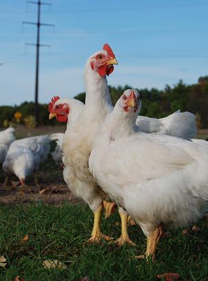 Sonday Produce chicken processing in Waupaca chickens