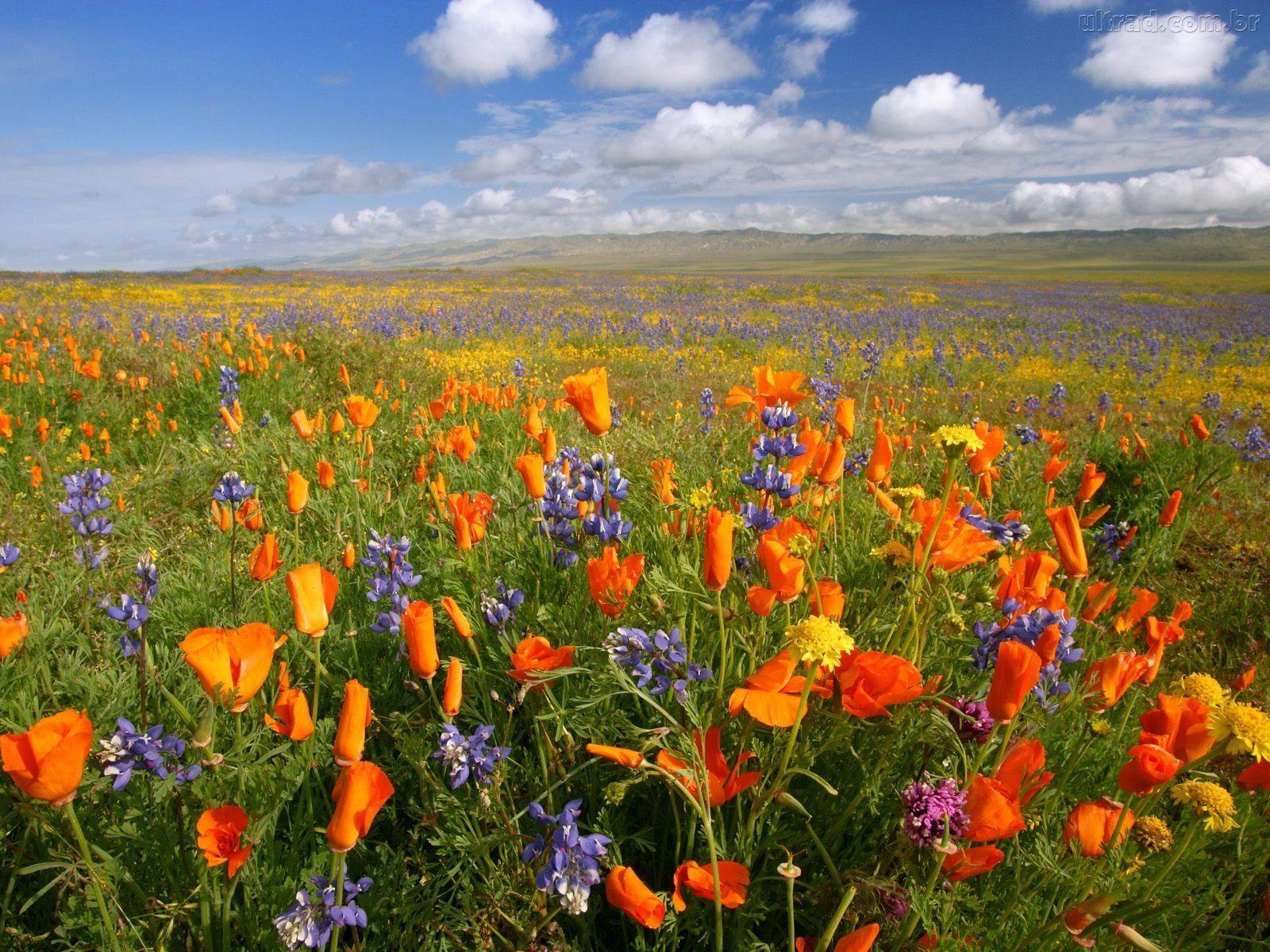 Alentejo (Portugal) California wildflowers, Wild flowers