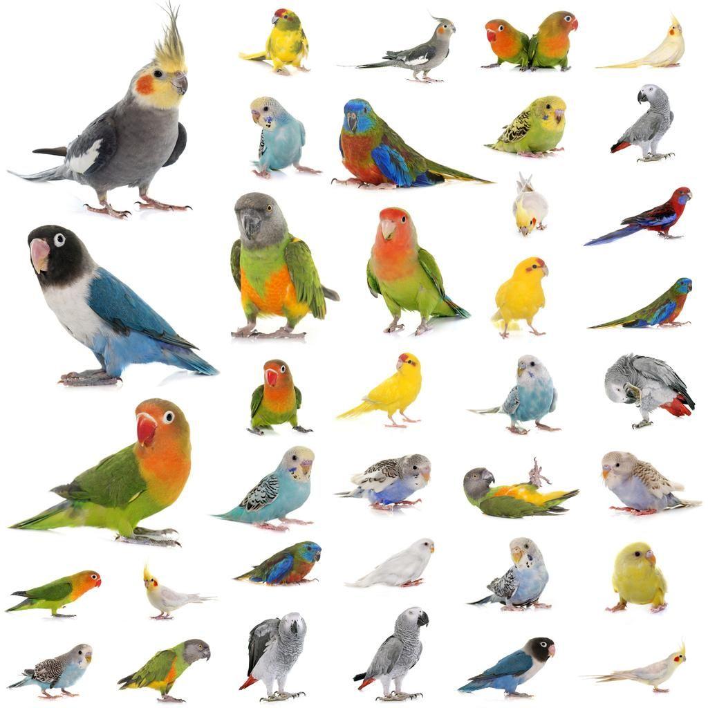 Картинки по запросу african love birds names Птицы