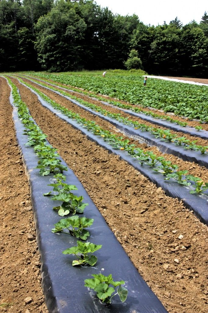 Vegetable Garden · Plastic Mulch Can Be Used To Suppress Weeds, Warm The  Soil, Retain Moisture,